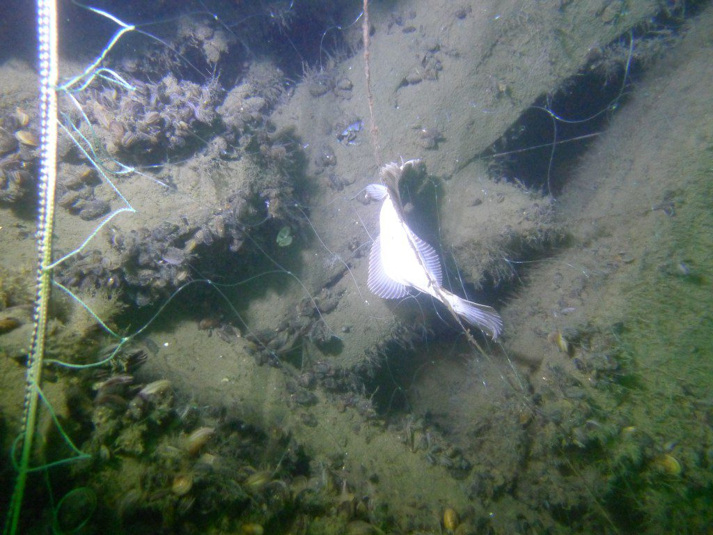 En fortfarande levande flundra sitter fast i ett nät på det så kallade Ølvraket utanför Ystad. Flundran räddades av dykarna (som också tog fotot), Gunnar Klinghult och Sven Berglöf.